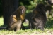 Golden-bellied mangabey